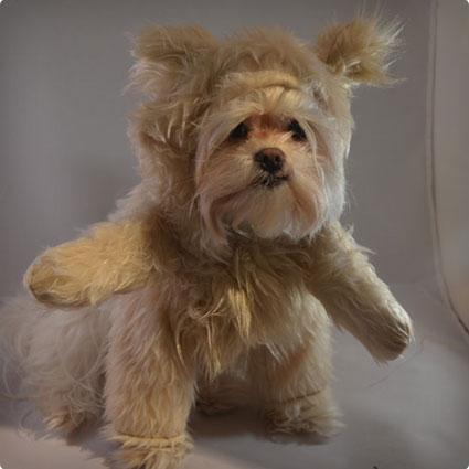 Adorable Cream Colored Teddy Bear Dog Halloween Costume