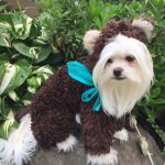 9 Absolutely Adorable Teddy Bear Dog Costumes