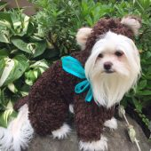 Goldilocks and the Three Bears/ Teddy Bear Dog Costume