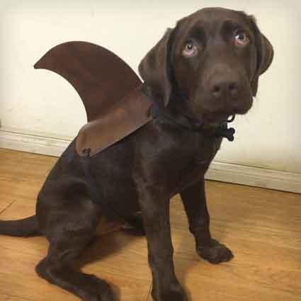 Shark Dog Fin