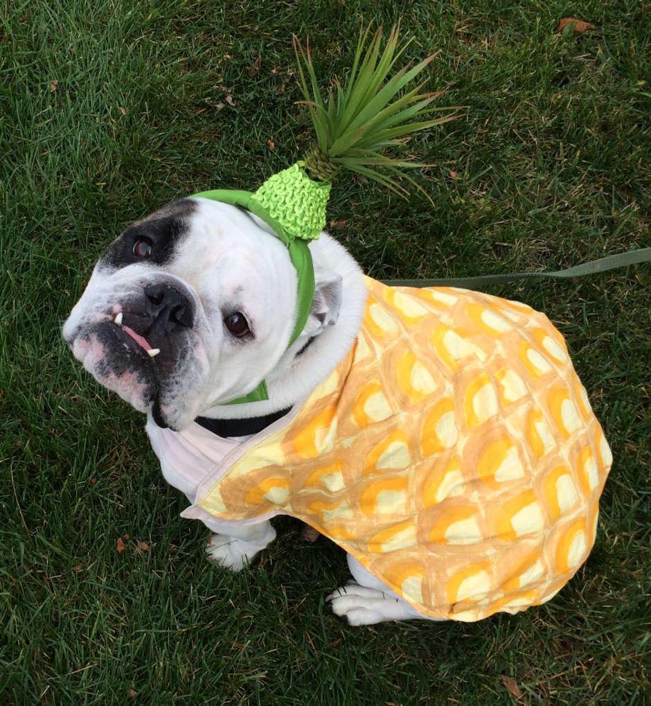 pineapple bulldog costume