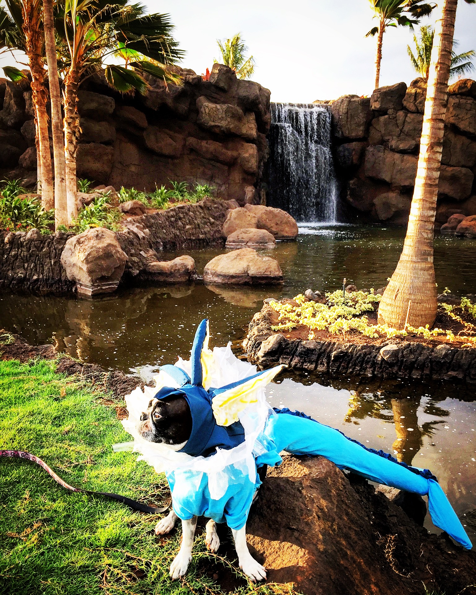 Beatrix the Boston terrier as a Vaporeon from Pokémon Go