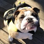 BullyBee Costume for Dogs
