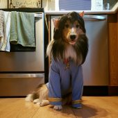 Mr.Spock – The Sheltie