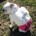 DIY Victoria Secret Angel Costume for Dogs